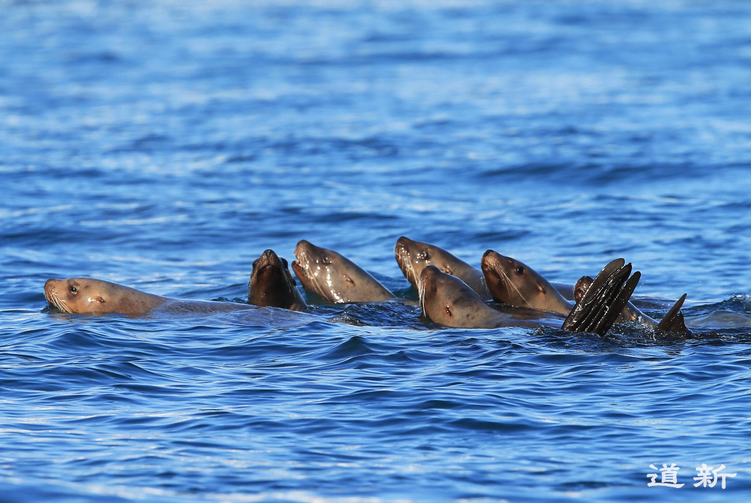 Photo: A group of Steller sea lions migrates the waters of Rausu