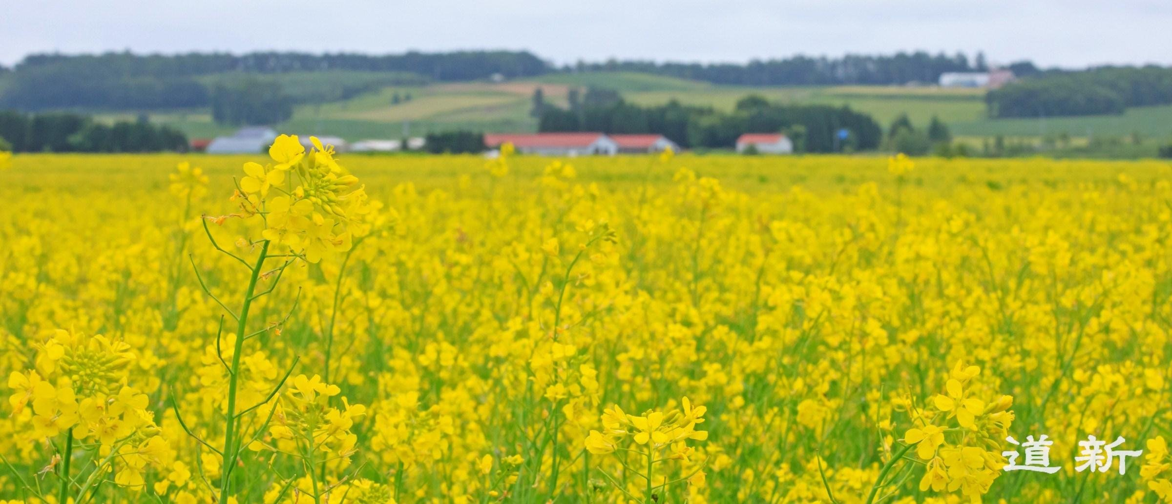 Photo:Japanese mustard from Tokachi – the challenge of cultivating for harvest