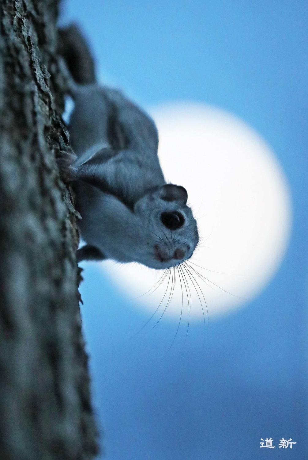 Photo:Flying squirrels glide from tree to tree amid the darkness