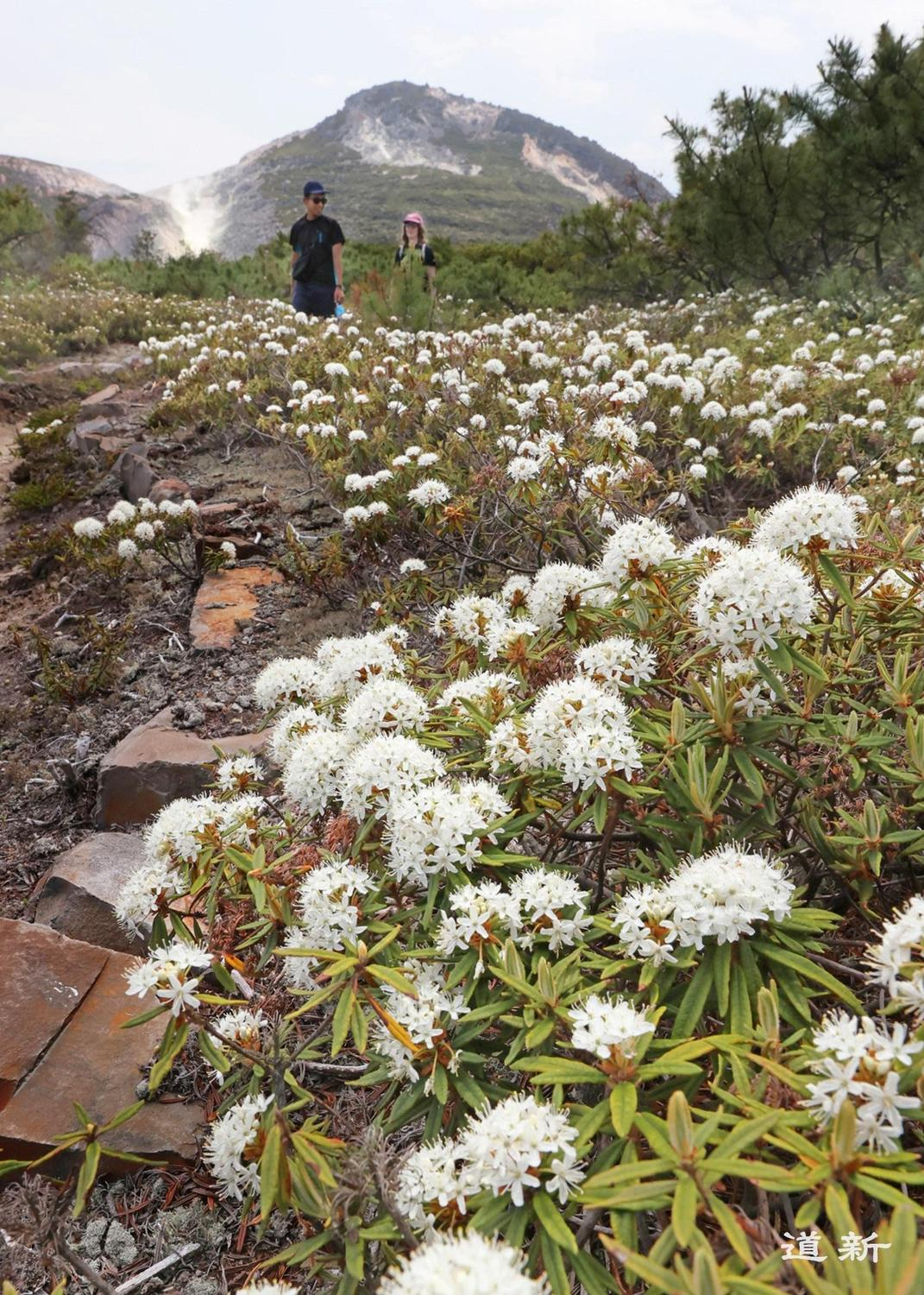 Photo:Best time to view a large colony of rhododendrons swaying in the breeze