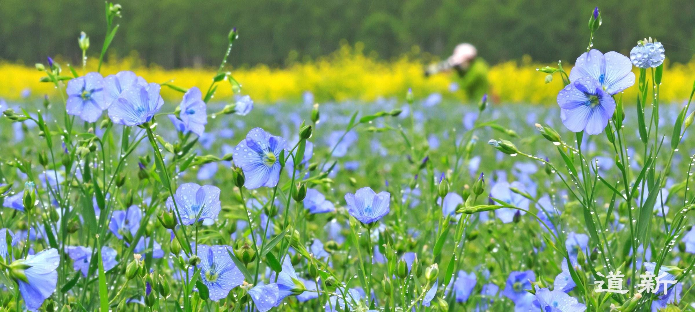 Photo:Cool violet color of the flax flower